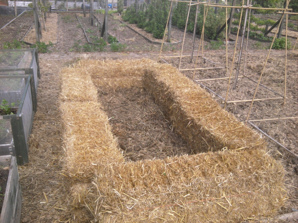 how to grow sweet potatoes in straw bales