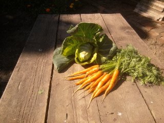 first carrot harvest of 2012