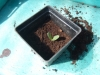 Potting up cucumber seed