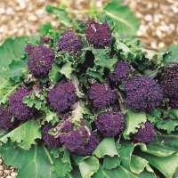 purple-sprouting-broccoli