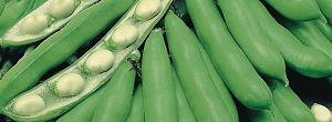 Tips On Growing Broad Beans