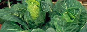 Tips On Growing Cabbages